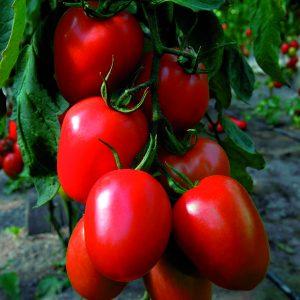 pomidor Aguamiel
