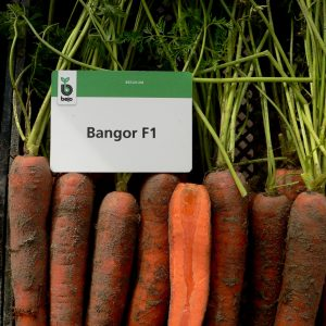 Marchew Bangor F1