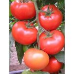 pomidor carnegie
