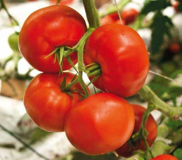 pomidor casania