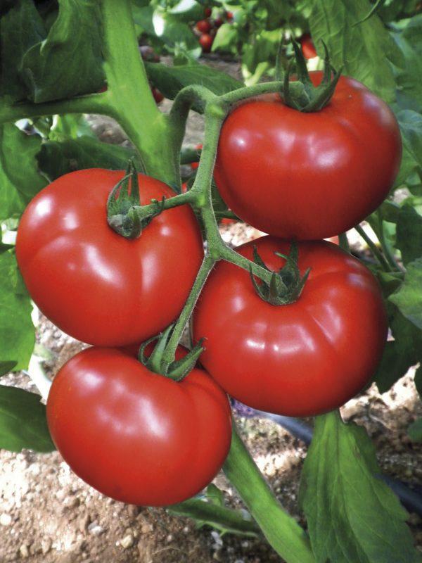 pomidor cemilia