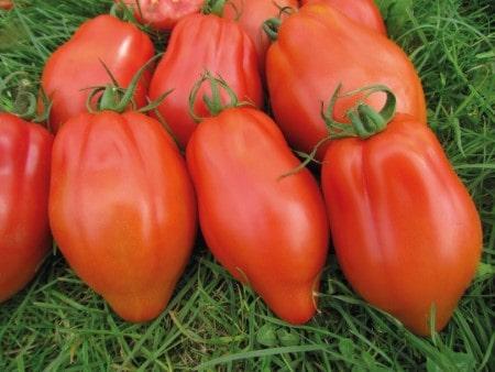 pomidor cabosse