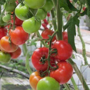 pomidor gonsella