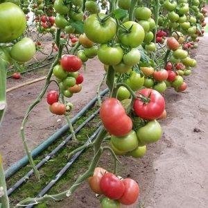 pomidor clarosa