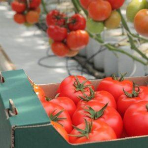 pomidor tamaris
