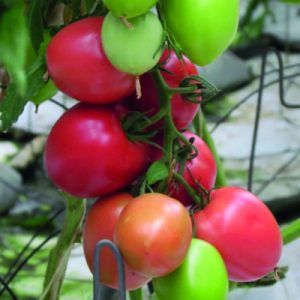 pomidor jangcy