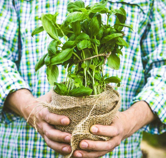 zioła gruntowe bazylia doniczkowa