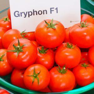 pomidor gryphon