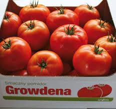pomidor growdena