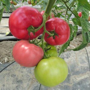 pomidor mei Shuai