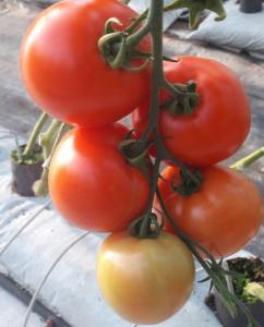 pomidor belladona