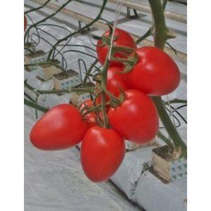 pomidor tucano