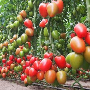 pomidor kong