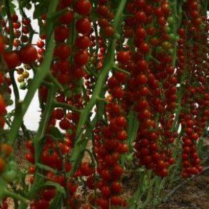 pomidor lorca