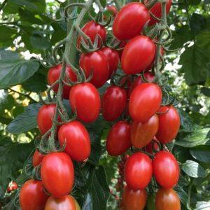 pomidor nicoleta
