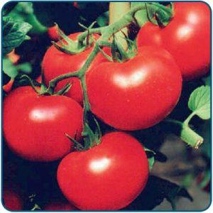 pomidor parica