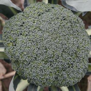 brokuł besty