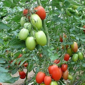 pomidor kilates