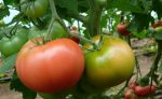 pomidor mamirio