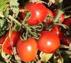 pomidor jet