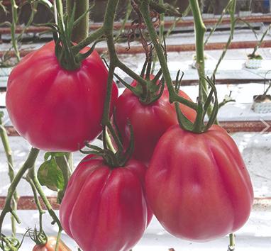 pomidor Rosamunda