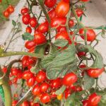 Pomidor Mandat