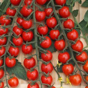 pomidor curranto