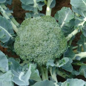 Brokuł Apolena