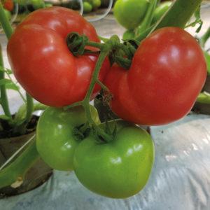 pomidor loara