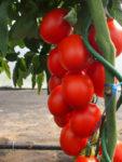 pomidor sonet