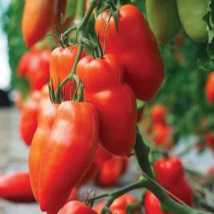 pomidor bellandine