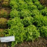 salata dubacek