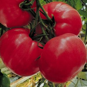 Pomidor Maturbo
