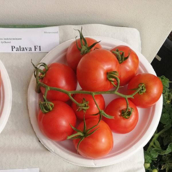 pomidor palava