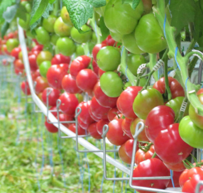 nasiona pomidorów